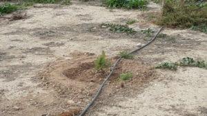Reposición pinos (2016-11-20) Foto 2
