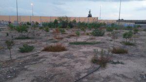 Pinos secándose (2016-10-09) Foto 1
