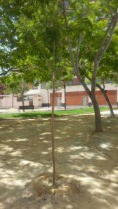 2017-05-26 Árbol repuesto junto manzana F2