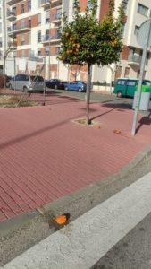 2021-01-23 Naranjas por el suelo de Joven Futura